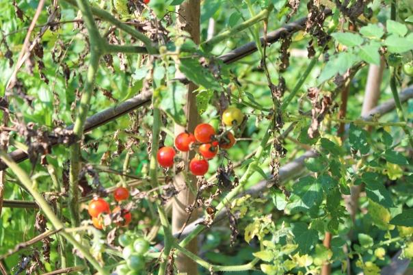 Ben - Cherry Tomatoes