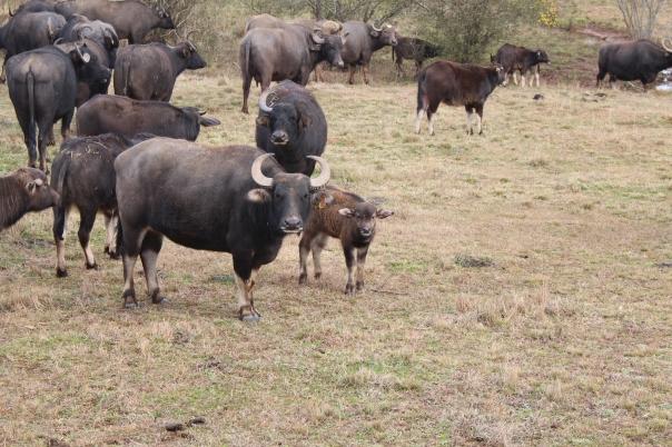 Ben - One Horn Mingles in the Herd.JPG